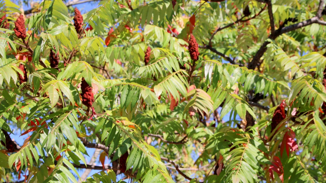 """Sumac: A """"weed tree"""" with a spicy story 