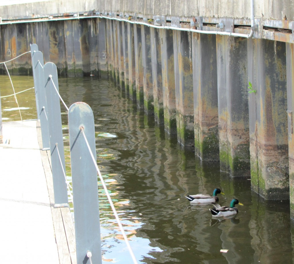 Yesterday ducks fed along the disputed bulkhead, from which a new promenade is set to extend out on the water on piers. (Photo by Mark Reutter)