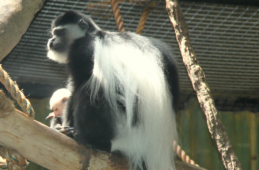 Locked in some kind of a custody battle with another Colobus, this mom holds tightly to her baby. (Photo by Ben Halvorsen)