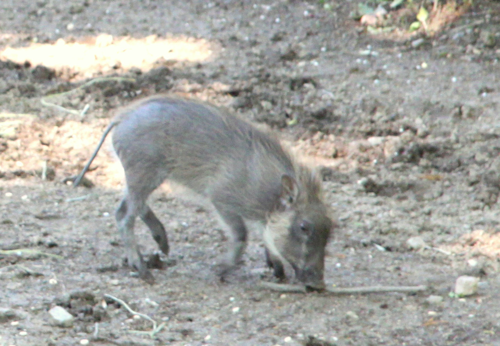 This little warthog was born not in his native terrain, the African grassland, but in Charm City. (Photo by Ban Halvorsen)