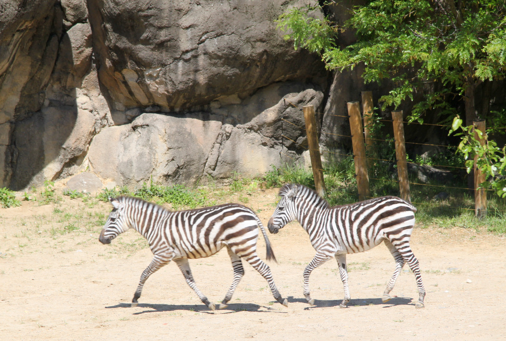 New zebra foals at the Baltimore Zoo. (Photo by Ben Halvorsen