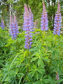 When lupine is in bloom, you'd never mistake it for woodruff, which has tiny white flowers. (Photo by Marta Hanson)