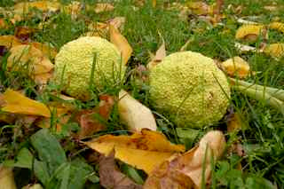 Osage oranges on the ground attract squirrels who eat the seeds and kids, who like to chuck them.