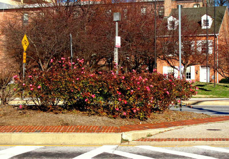 Another clump of rose bushes respond to warmth'aggendon near the Shot Tower yesterday. (Photo by Mark Reutter)