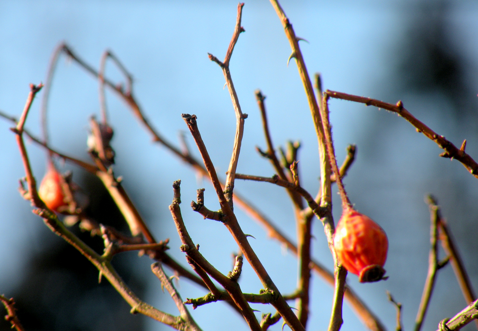 A bright spot for foragers in mid-winter: rosehips. (Photo by Marta Hanson)