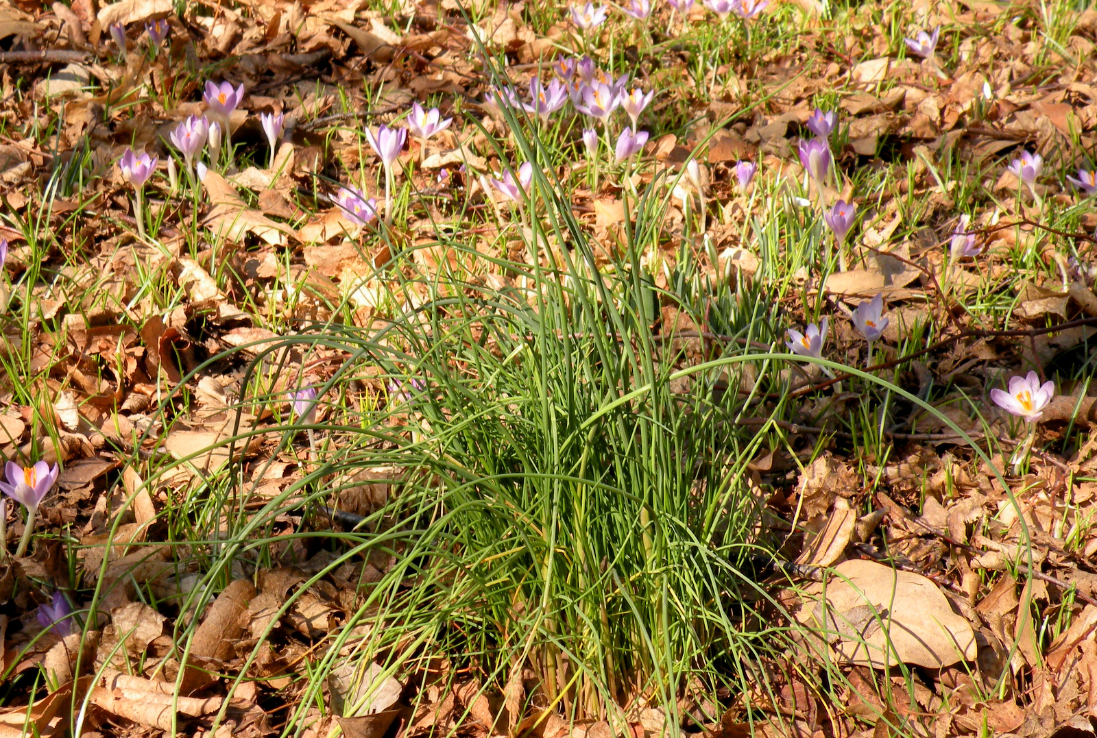 Those crocus plants surrounding the wild chive have white bulbs and green shoots too - but they're not edible. (Photo by Marta Hanson)