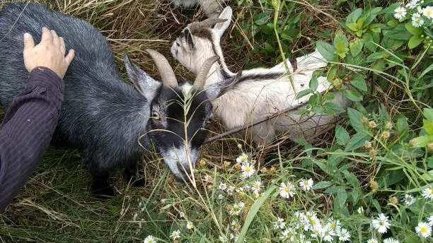 Stephanie Estep pets Hazel, one of the filbert Street Community garden's new goats. (Marvin Hayes)