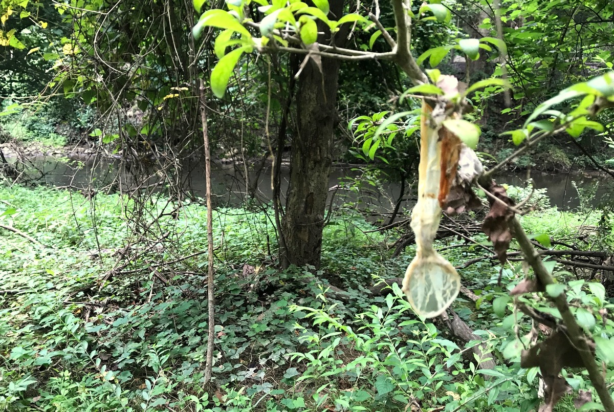 A used condom and soaked paper packaging were among many items found on trees branches and brushes 100 feet downstream from manhole 6883 by Green Towson Alliance member Roger Gookin. (Both: Mark Reutter)