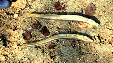 Over 75 endangered American eel were killed last month after a ruptured city pipe dumped chlorinated water into a creek in Leakin Park. (Mark Reutter)