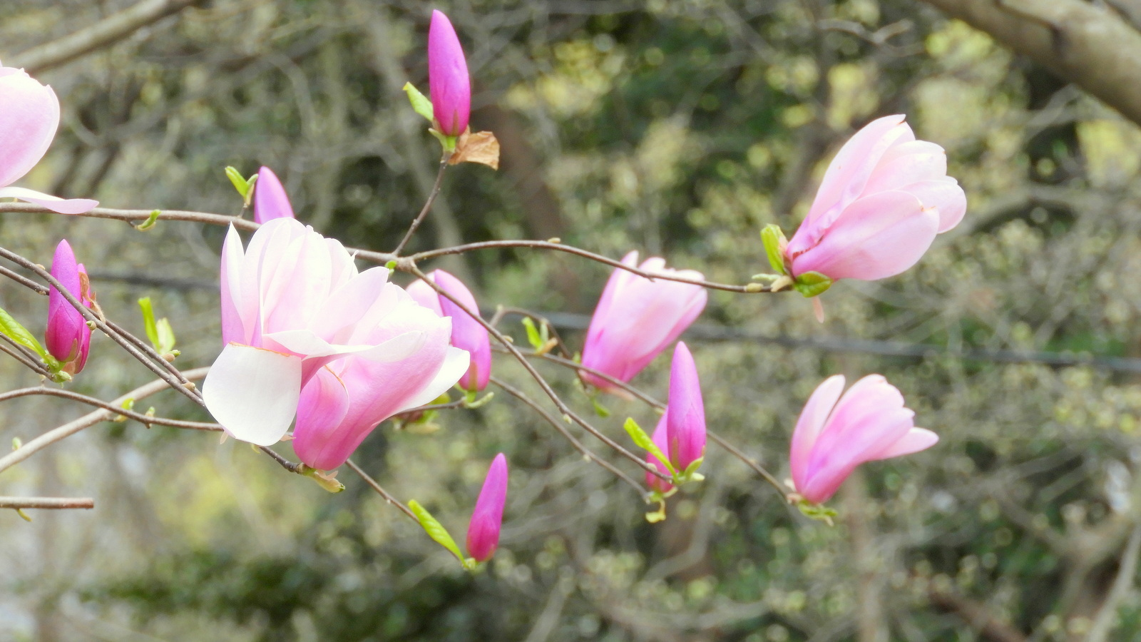 Magnolia flowers in Baltimore are lovely now - and just right for adding to a salad, urban foragers say. (Marta Hanson)