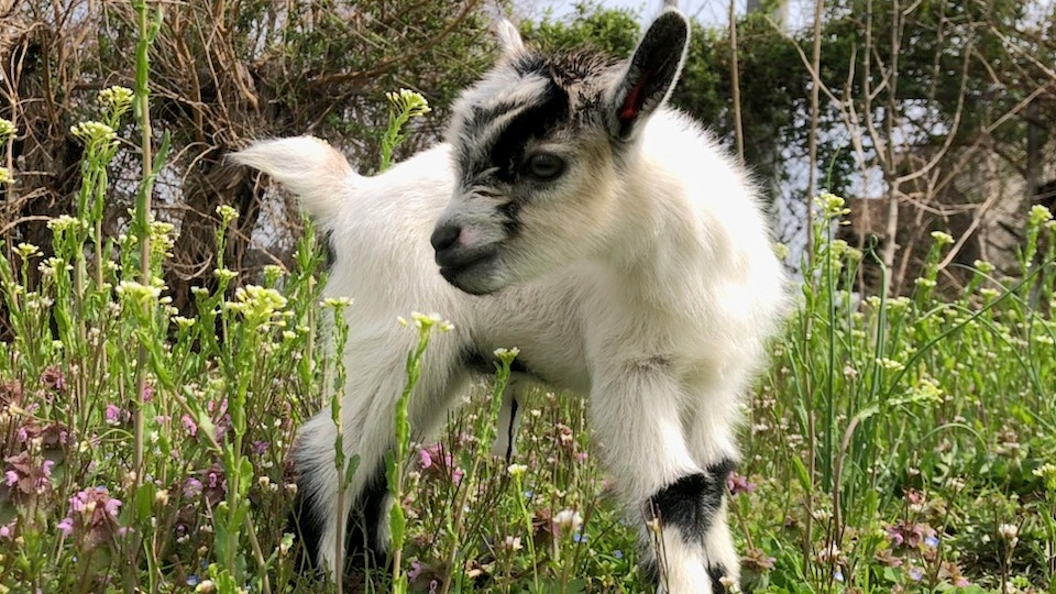 There's a no-questions-asked reward out for the return of Ed, the Filbert Street Garden's baby goat. (Henry Scott)