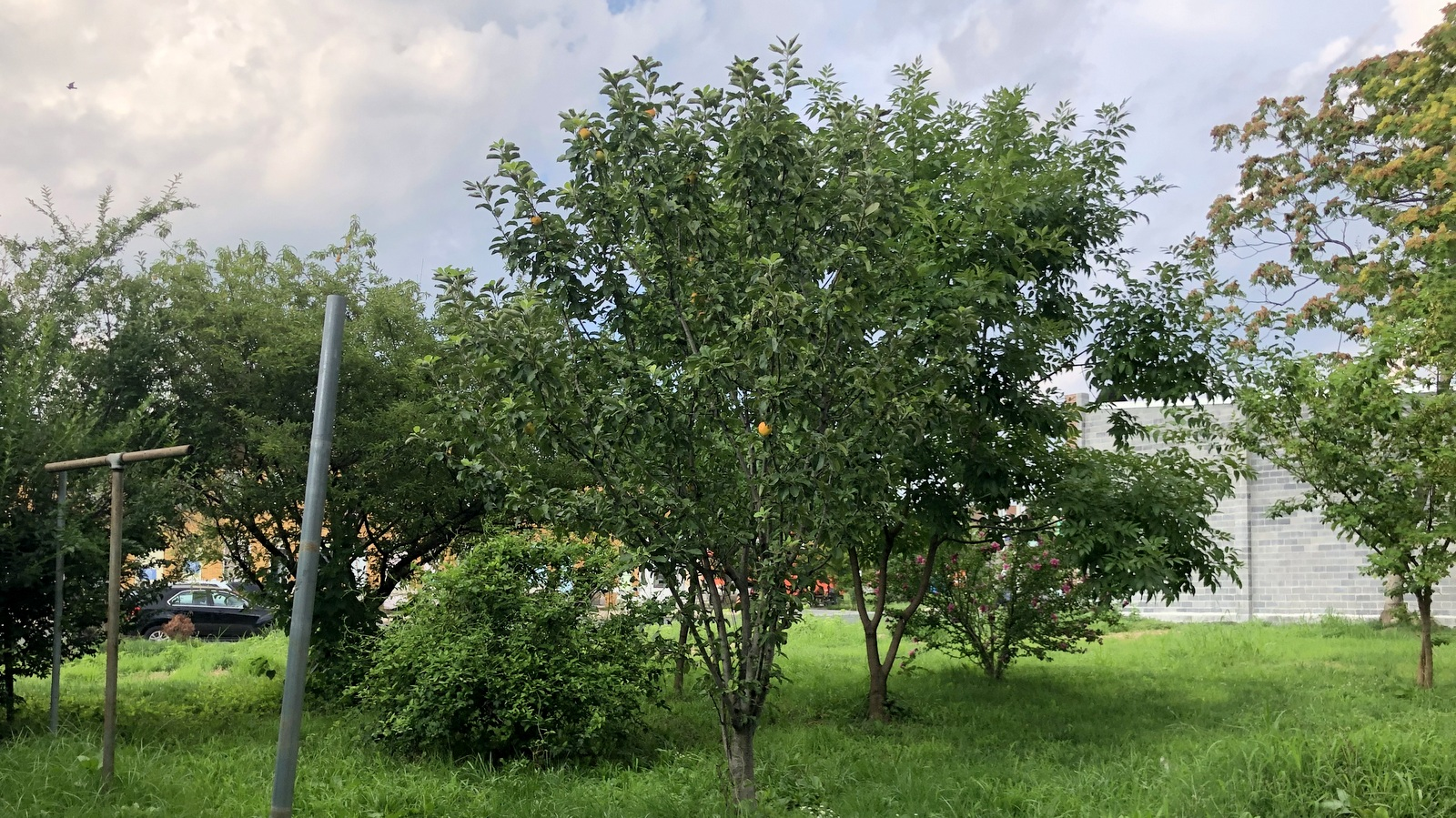 Pears are ripening at the Duncan Street Miracle Garden in Greenmount West. (Ian Round)