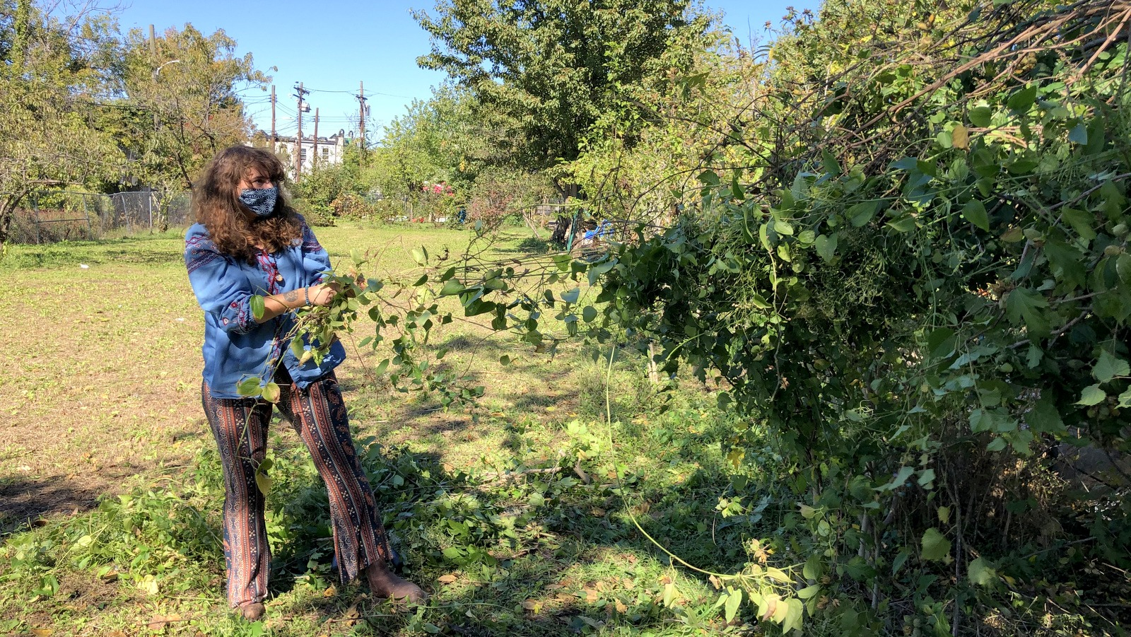 Morgan Thapa yanks out the weeds choking the Rose of Sharon at Duncan Street Miracle Garden. (Ian Round)