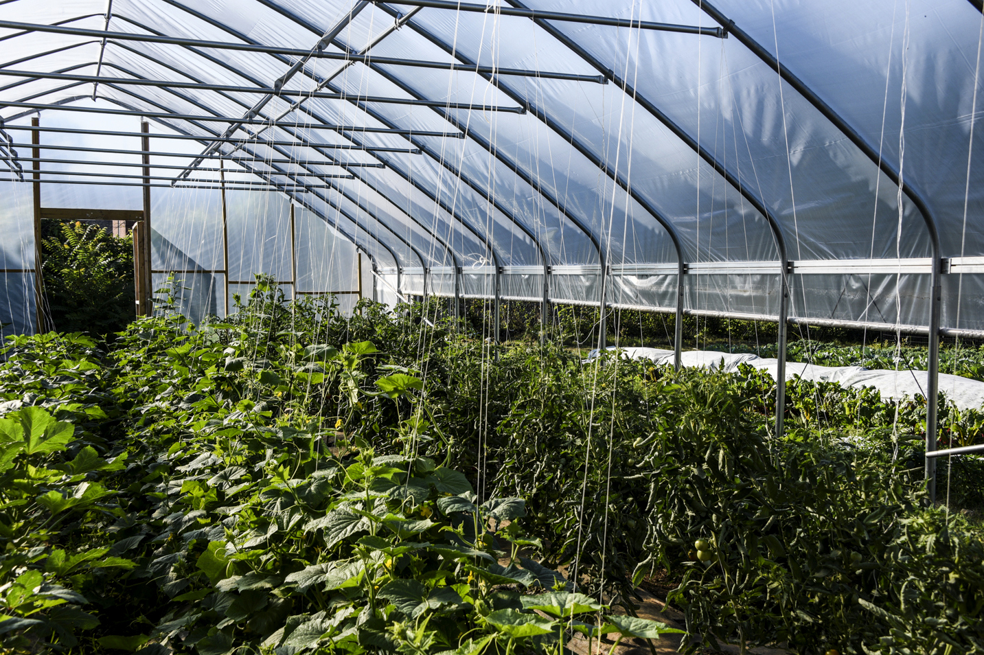Tomatoes growing in one of the Cherry Hill Community Garden's hoop houses. (J.M. Giordano)